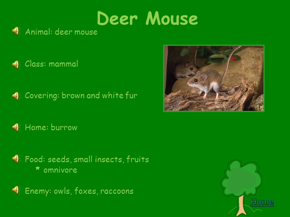 Forest Webquest Deer Mouse Snowshoe Hare Great Gray Owl Beaver Moose Black Bear Gray Wolf Wolverine Red Fox Chickadee Squirrel