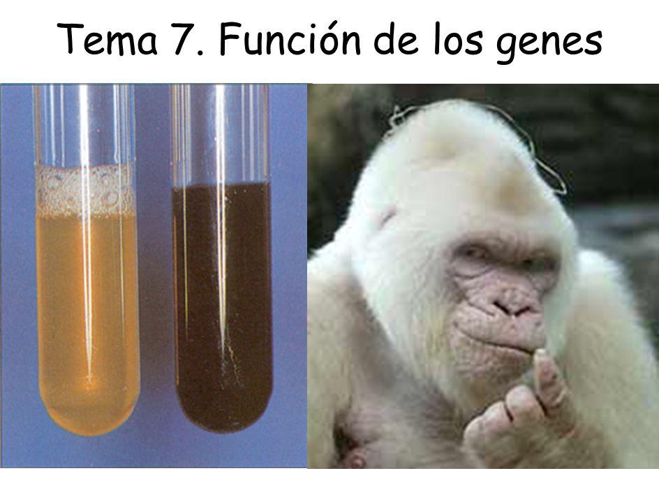 Grupo I Grupo II Grupo III auxótrofo para Arg -> ruta de biosíntesis de Arg