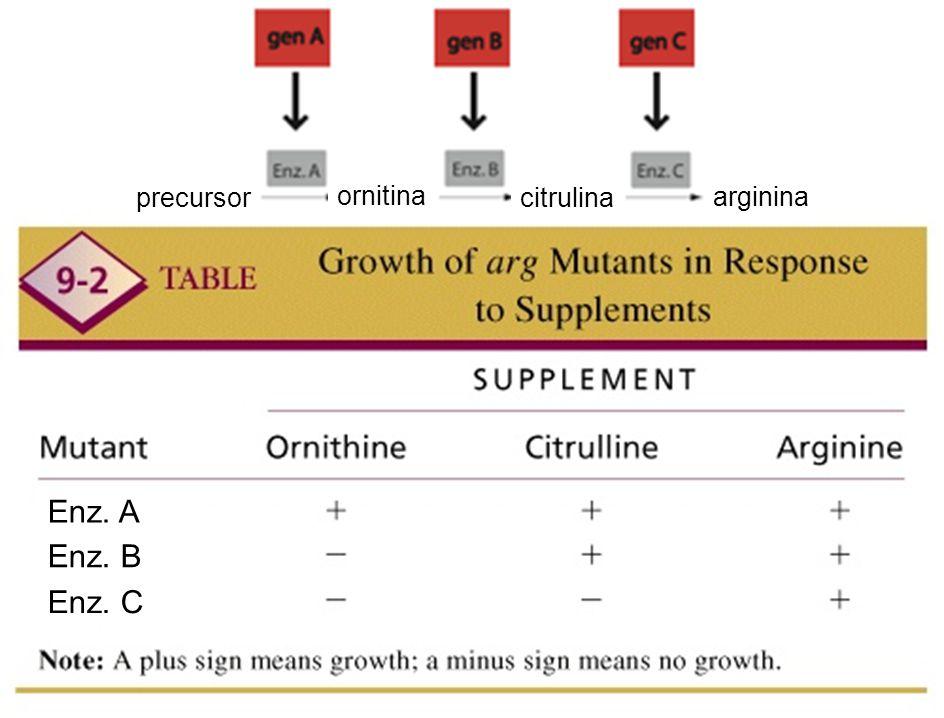 Enz. A Enz. B Enz. C ornitina citrulina arginina precursor