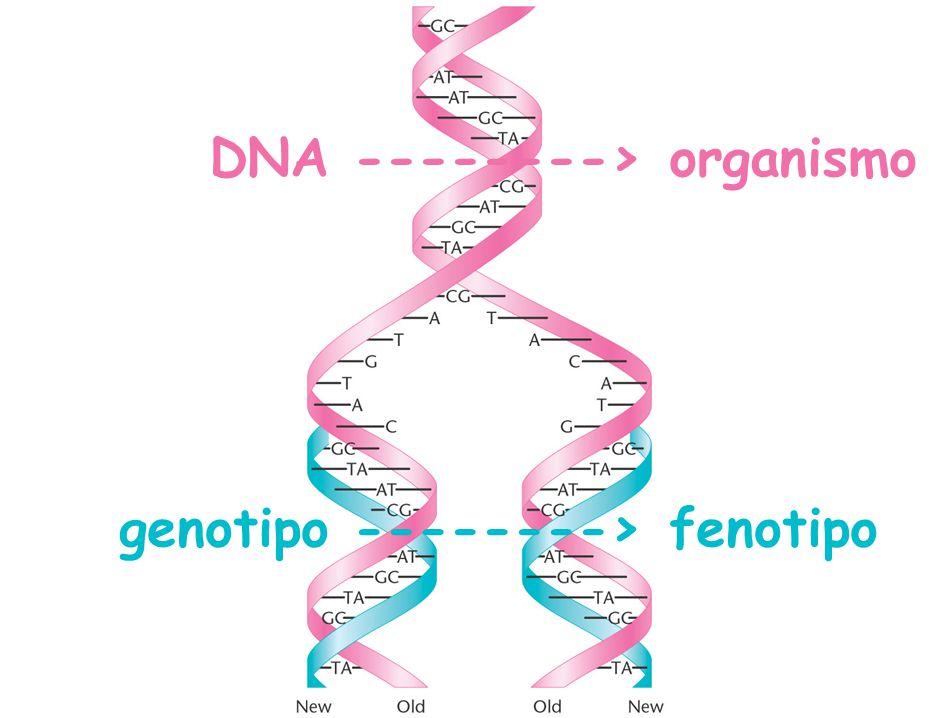 contenido Garrod: errores congénitos del metabolismo Beadle y Tatum: un gen, una enzima Genética bioquímica Un gen, una proteína o un gen, un polipéptido Colinearidad gen-proteína Del genotipo (DNA) al fenotipo (organismo)