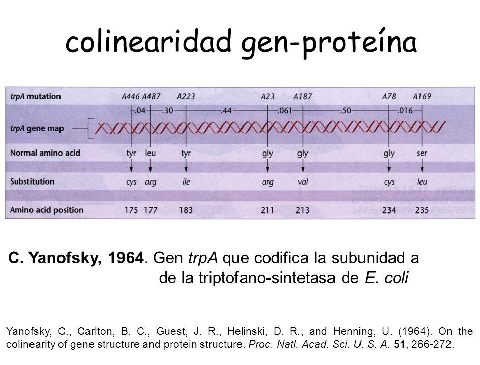 colinearidad gen-proteína C. Yanofsky, 1964. Gen trpA que codifica la subunidad a de la triptofano-sintetasa de E. coli Yanofsky, C., Carlton, B. C.,