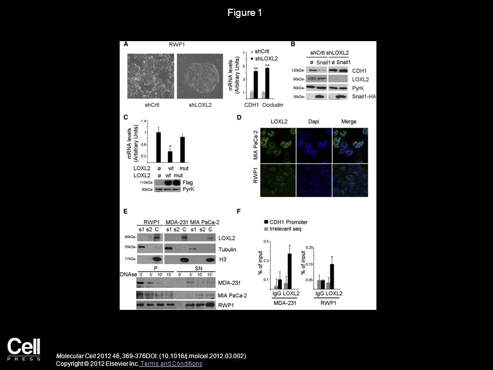Figure 1 Molecular Cell 2012 46, 369-376DOI: (10.1016/j.molcel.2012.03.002) Copyright © 2012 Elsevier Inc.