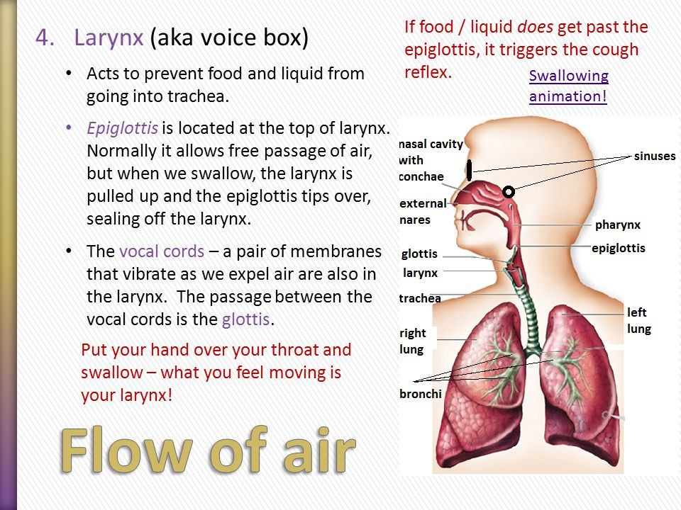 4.Larynx (aka voice box) Acts to prevent food and liquid from going into trachea.