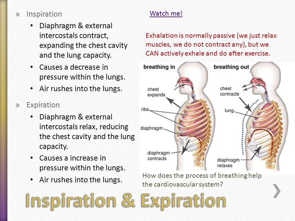 » Inspiration Diaphragm & external intercostals contract, expanding the chest cavity and the lung capacity.