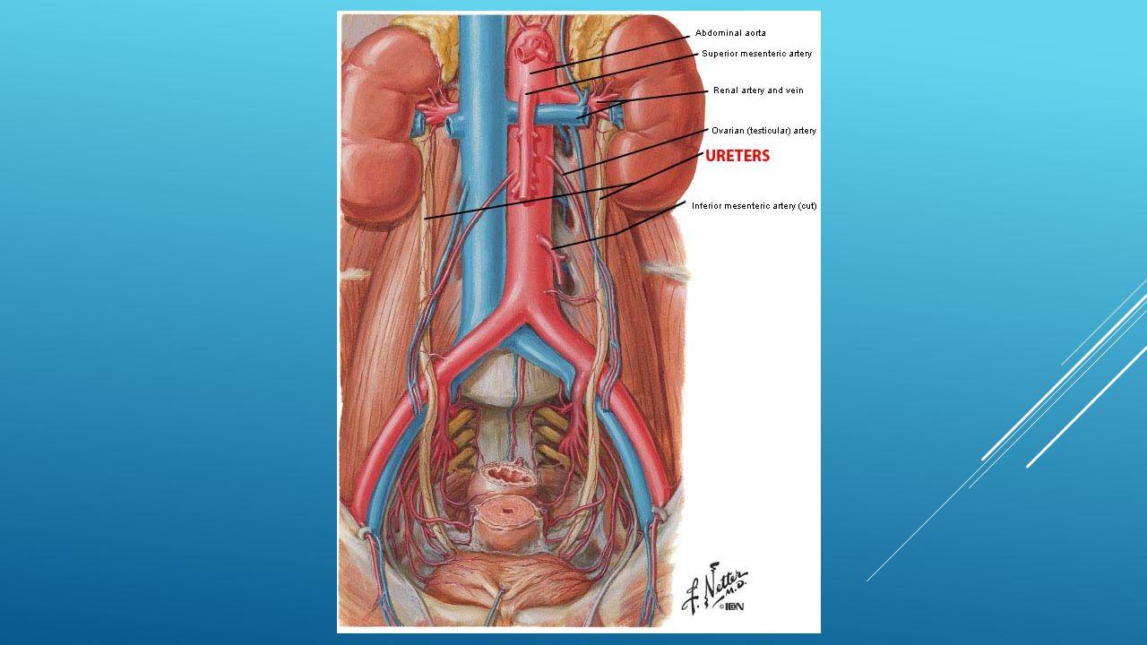 Anatomy of the urinary tract