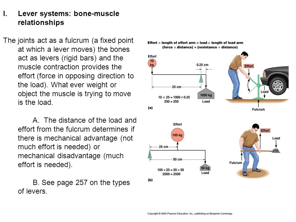 How do bones act as levers in the body?