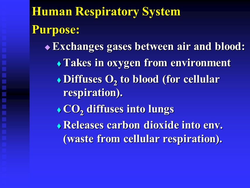 Human Respiratory System Purpose:  Exchanges gases between air and blood:  Takes in oxygen from environment  Diffuses O 2 to blood (for cellular respiration).