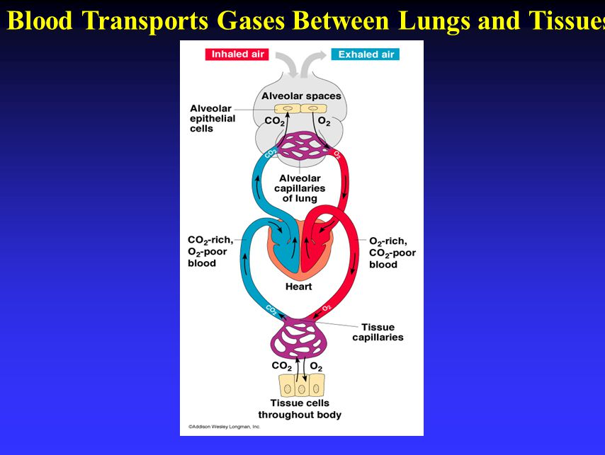 Blood Transports Gases Between Lungs and Tissues