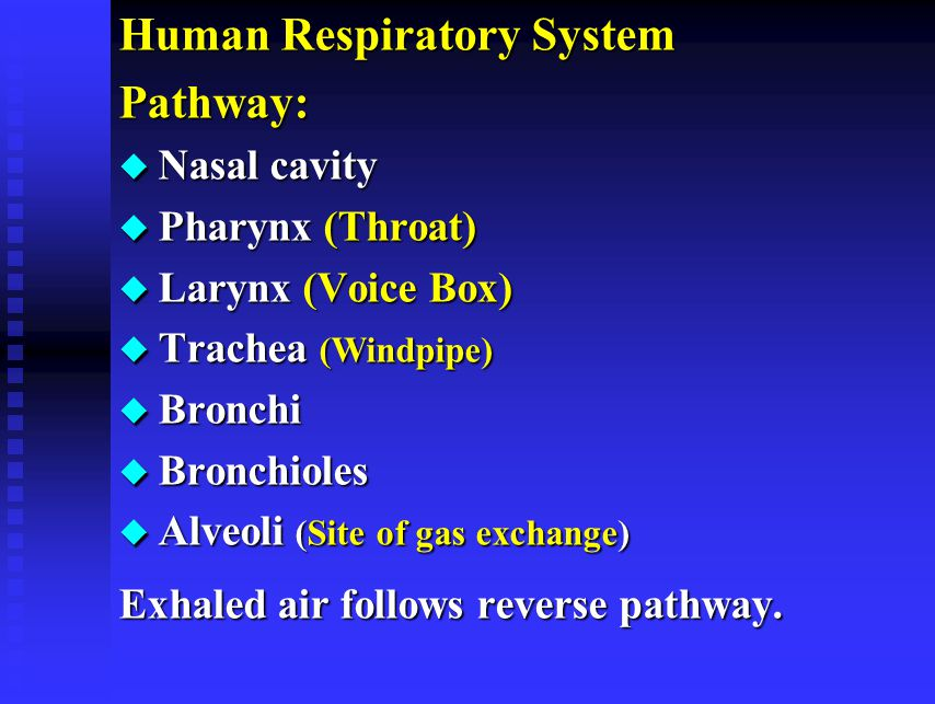 Human Respiratory System Pathway: u Nasal cavity u Pharynx (Throat) u Larynx (Voice Box) u Trachea (Windpipe) u Bronchi u Bronchioles u Alveoli (Site of gas exchange) Exhaled air follows reverse pathway.