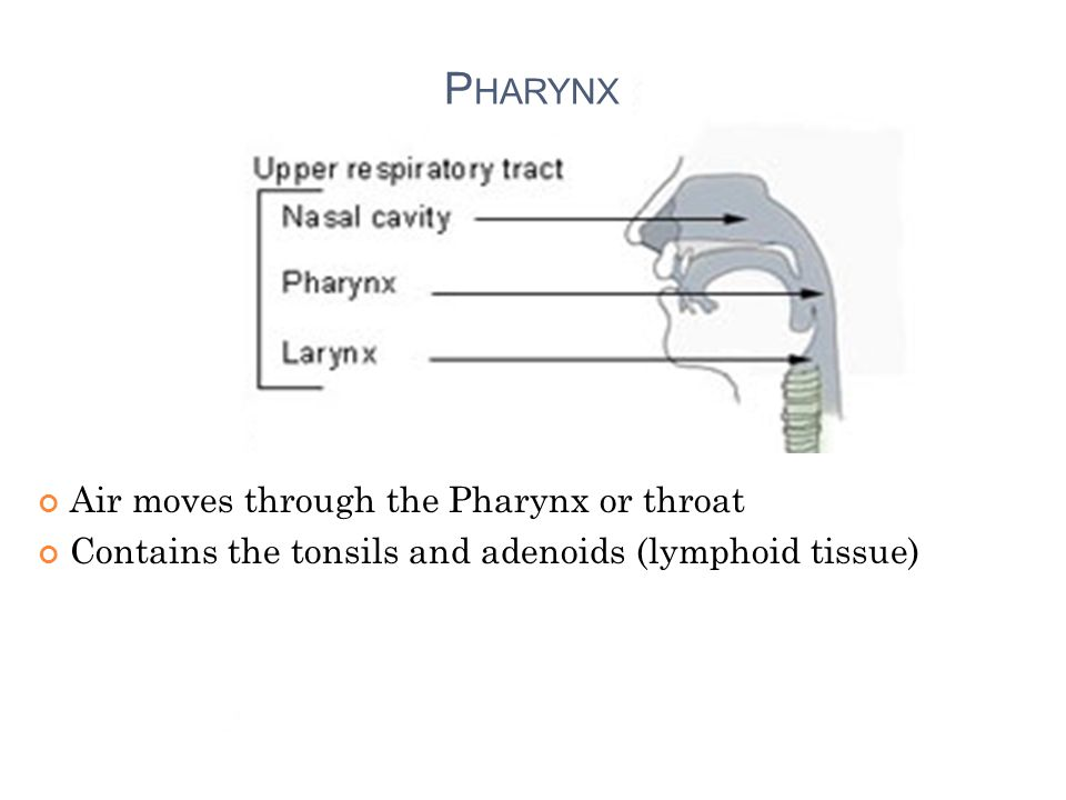 Air moves through the Pharynx or throat Contains the tonsils and adenoids (lymphoid tissue) P HARYNX