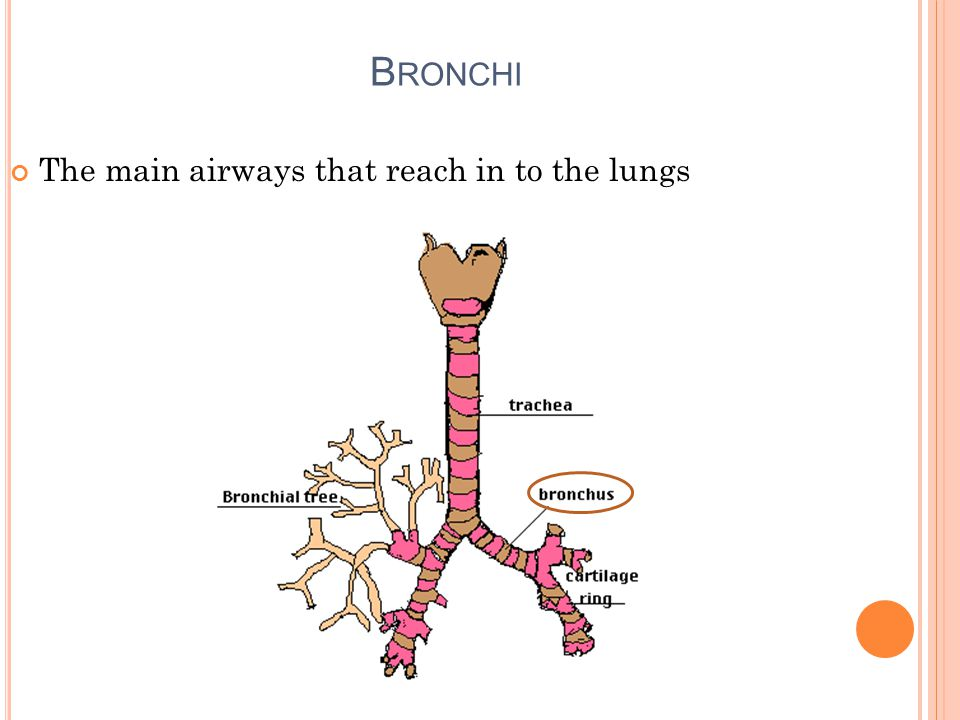 B RONCHI The main airways that reach in to the lungs