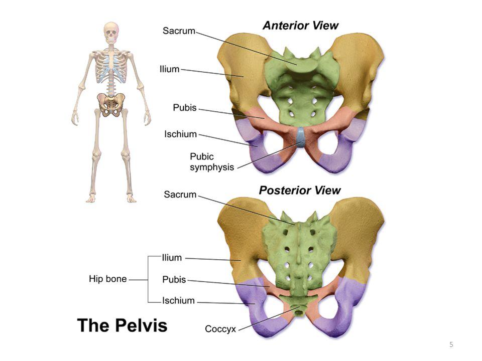 the pelvic girdle & lower limb - ppt video online download, Human Body