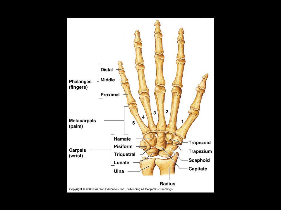 Appendicular Skeleton – arms, legs, pectoral and pelvic girdles A ...
