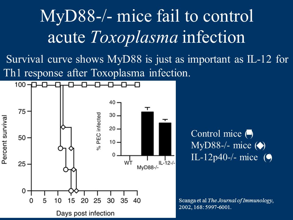 MyD88-/- mice fail to control acute Toxoplasma infection Control mice ( ) MyD88-/- mice ( ) IL-12p40-/- mice ( ) Survival curve shows MyD88 is just as important as IL-12 for Th1 response after Toxoplasma infection.