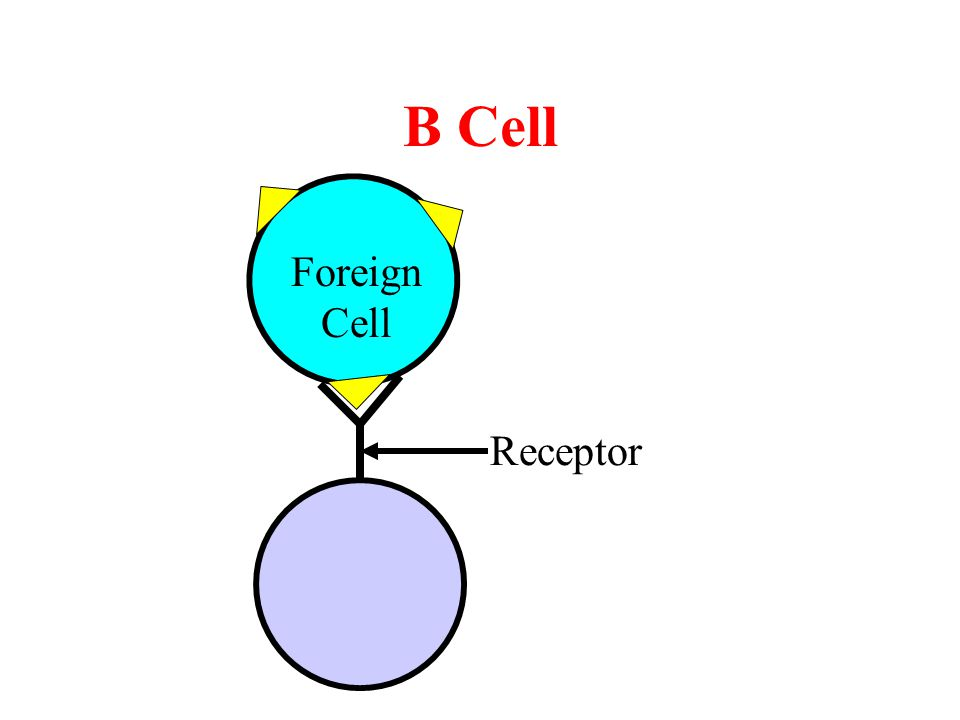 B Cell Receptor Foreign Cell