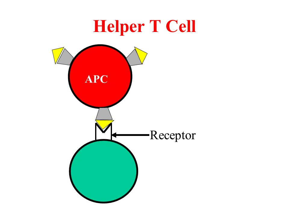Helper T Cell Receptor APC
