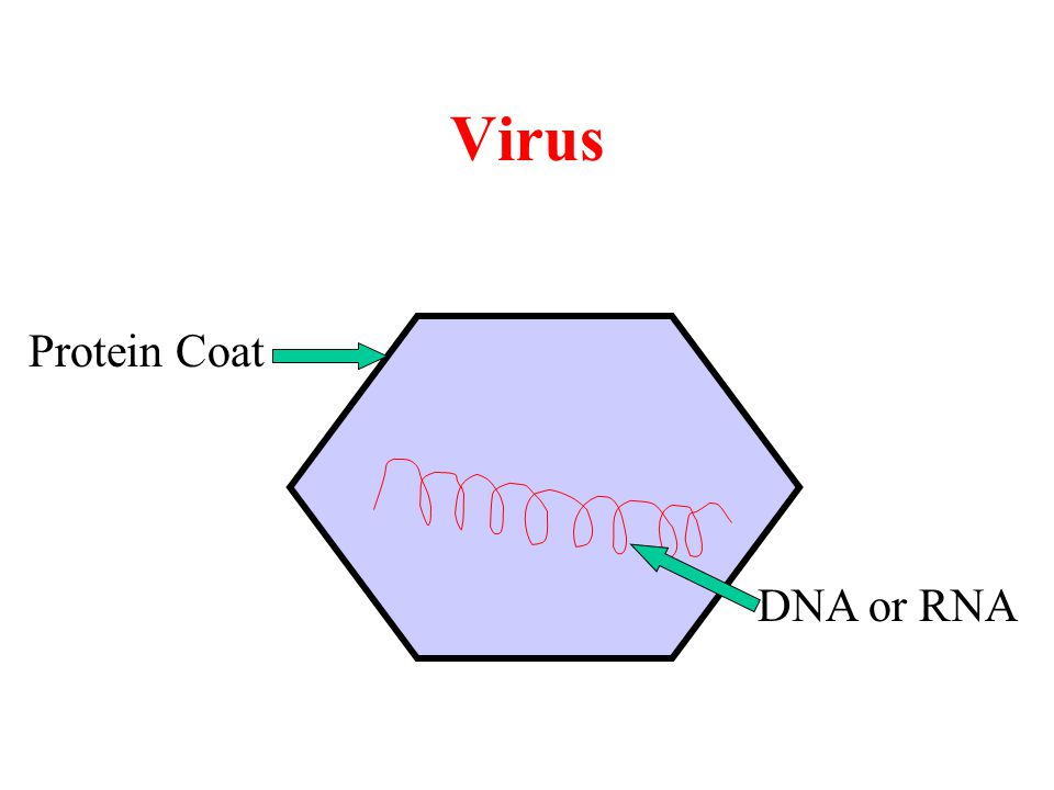 Virus Protein Coat DNA or RNA