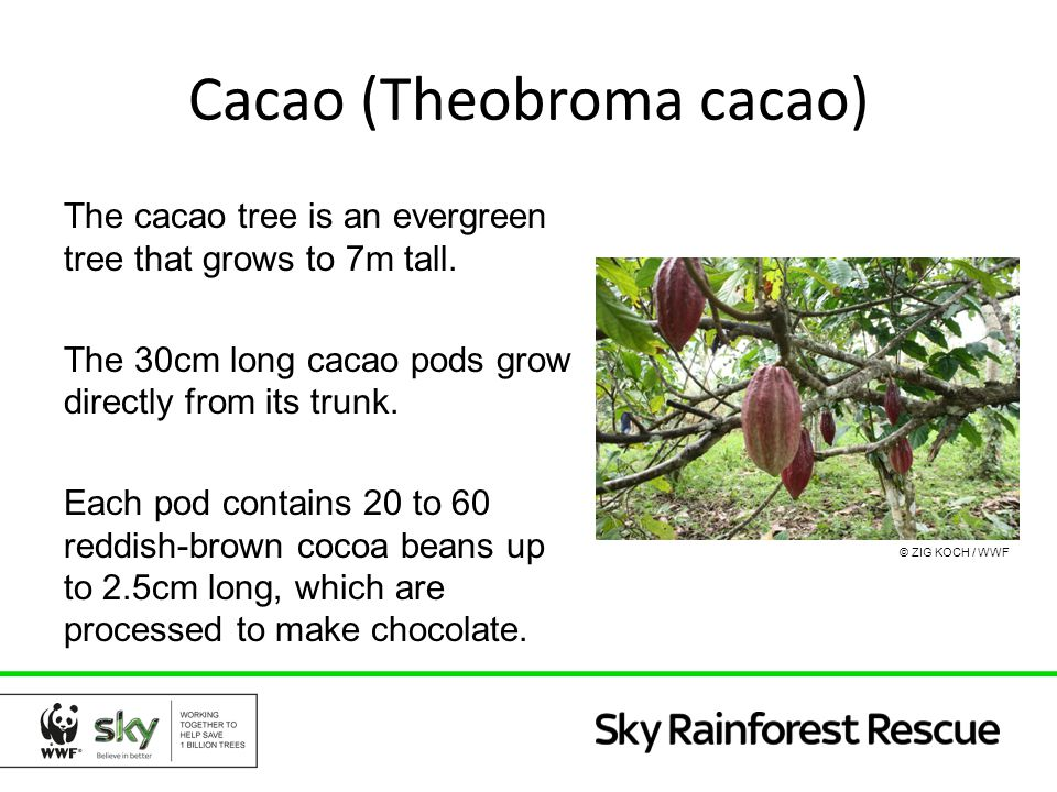 Geography rainforest supermarket the amazon is not just a 6 cacao theobroma sciox Image collections