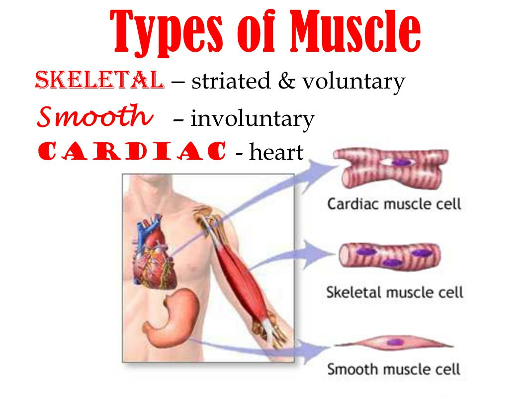 voluntary muscular system – lickclick, Muscles