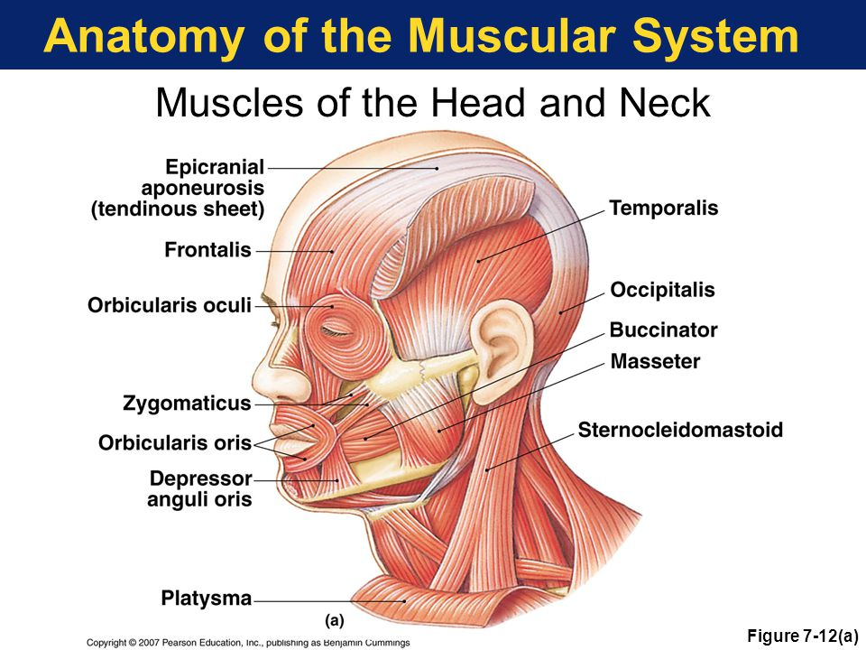 Anatomy Of Head And Neck Ppt Image collections - human body anatomy