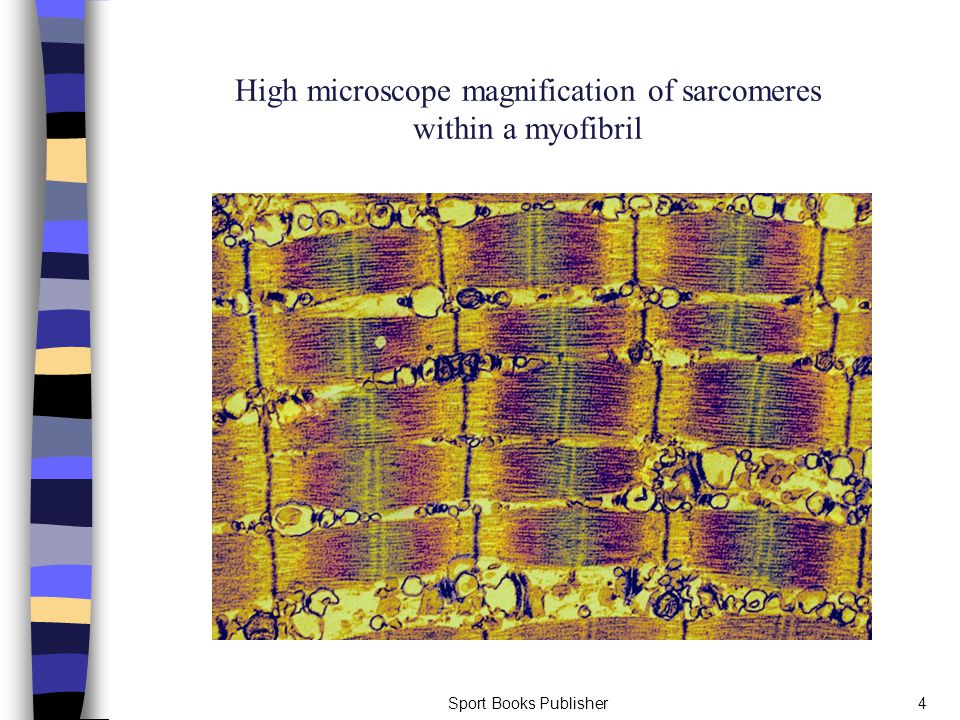 Sport Books Publisher4 High microscope magnification of sarcomeres within a myofibril