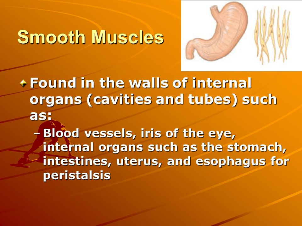 Smooth Muscles Found in the walls of internal organs (cavities and tubes) such as: –Blood vessels, iris of the eye, internal organs such as the stomach, intestines, uterus, and esophagus for peristalsis