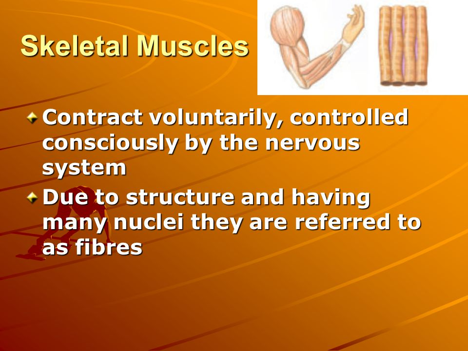 Skeletal Muscles Contract voluntarily, controlled consciously by the nervous system Due to structure and having many nuclei they are referred to as fibres