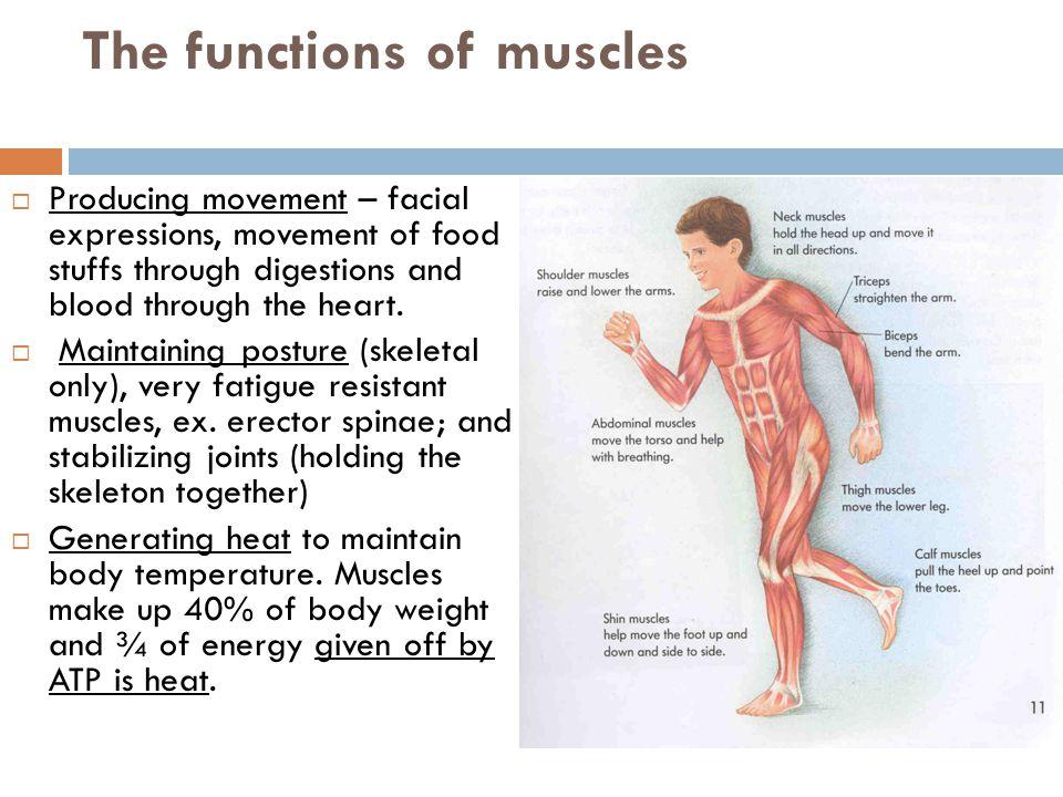body binder - livebinder, Muscles