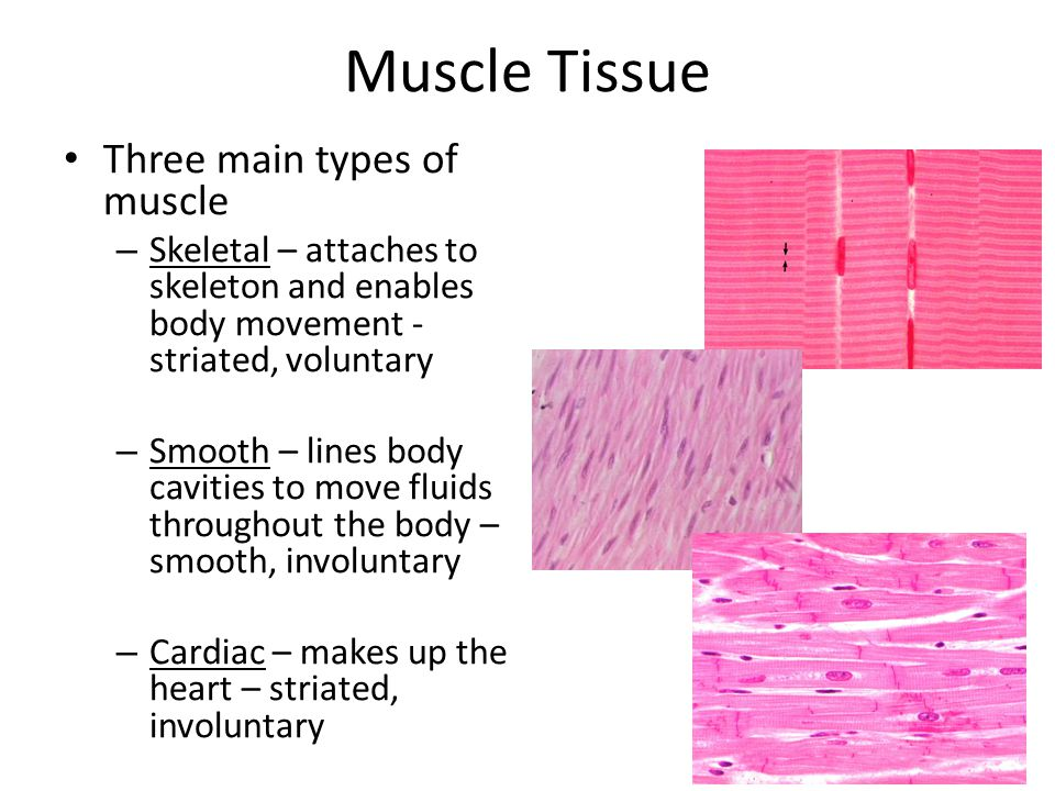 Human muscle tissue