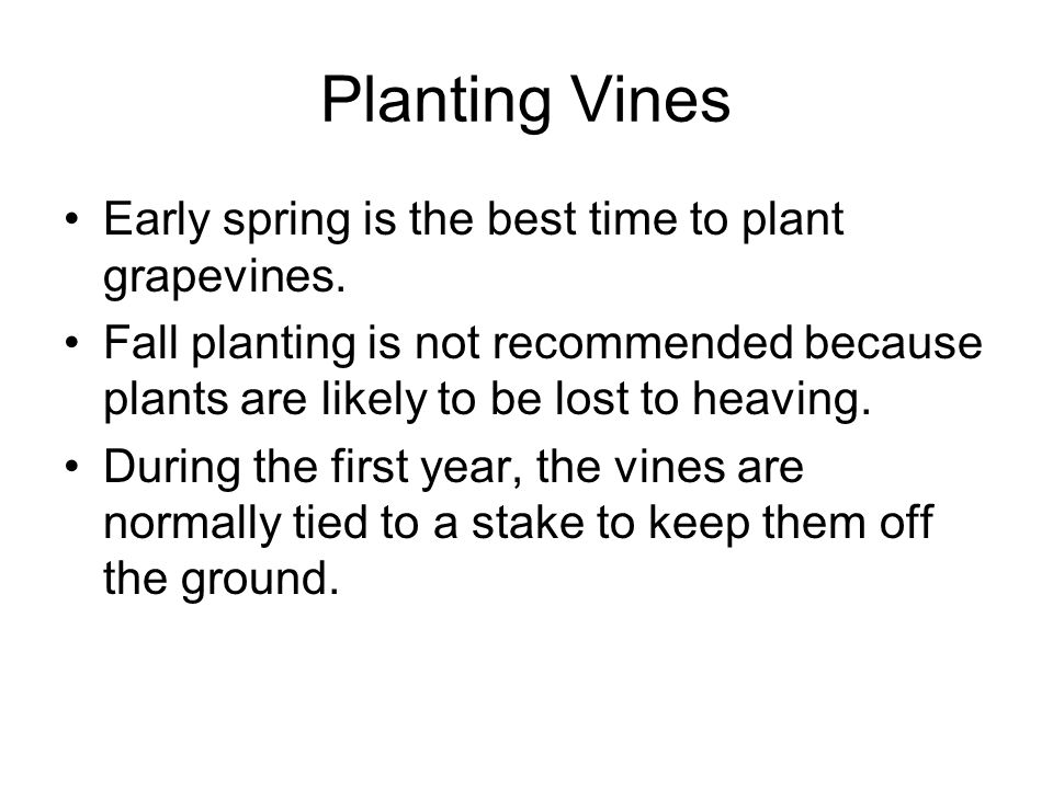 Planting Vines Early spring is the best time to plant grapevines.