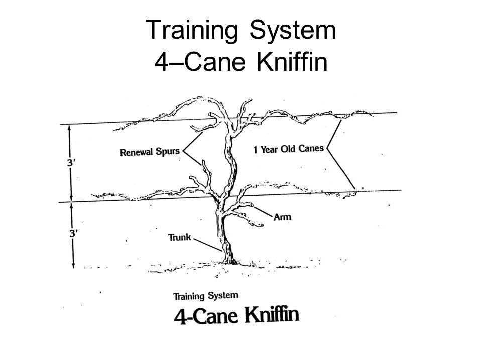 Training System 4–Cane Kniffin