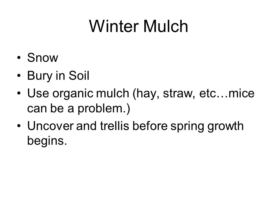 Winter Mulch Snow Bury in Soil Use organic mulch (hay, straw, etc…mice can be a problem.) Uncover and trellis before spring growth begins.