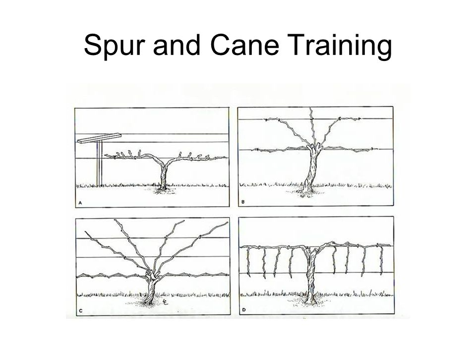 Spur and Cane Training