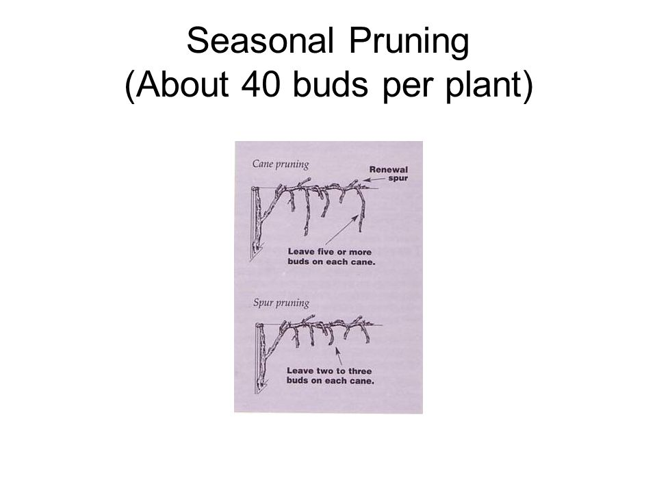 Seasonal Pruning (About 40 buds per plant)