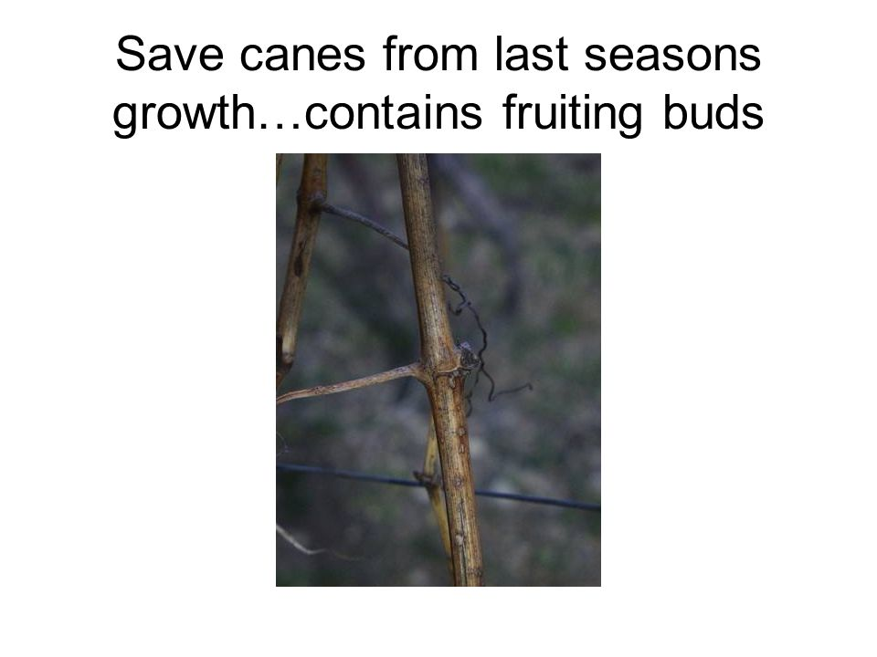 Save canes from last seasons growth…contains fruiting buds