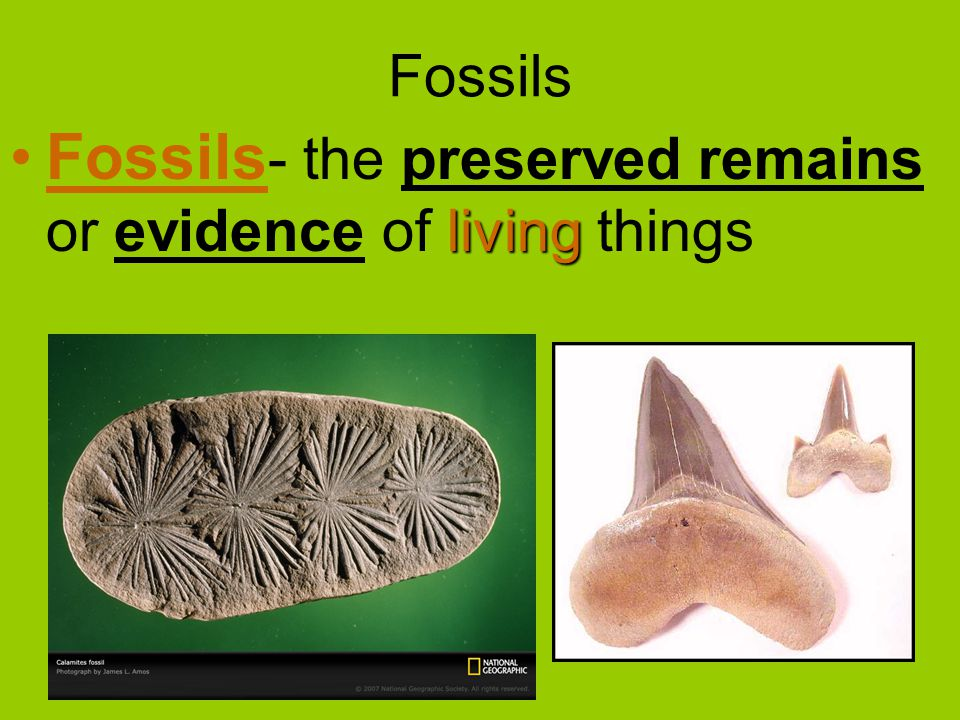livingFossils - the preserved remains or evidence of living things