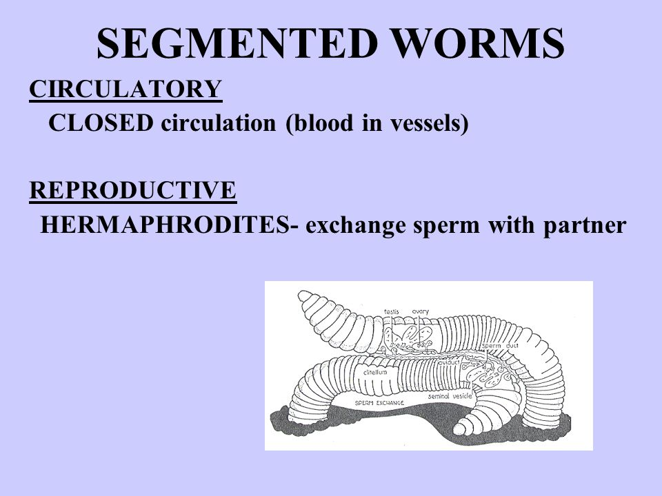SEGMENTED WORMS CIRCULATORY CLOSED circulation (blood in vessels) REPRODUCTIVE HERMAPHRODITES- exchange sperm with partner