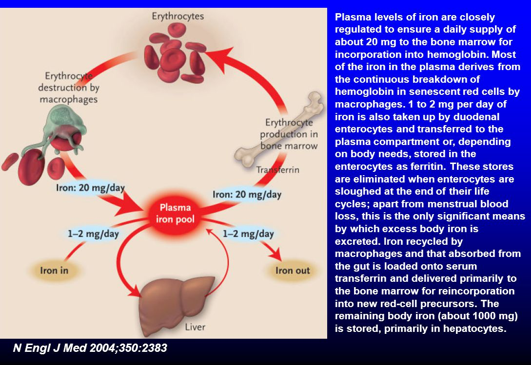 N Engl J Med 2004;350:2383 Plasma levels of iron are closely regulated to ensure a daily supply of about 20 mg to the bone marrow for incorporation into hemoglobin.