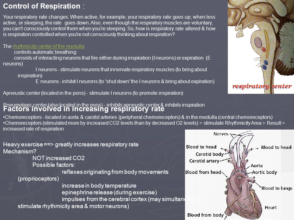 Control of Respiration : Your respiratory rate changes.