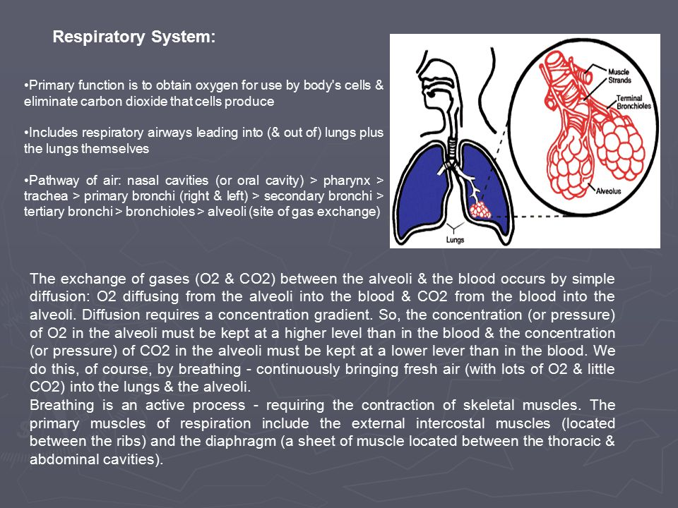 Respiratory System: Primary function is to obtain oxygen for use by body s cells & eliminate carbon dioxide that cells produce Includes respiratory airways leading into (& out of) lungs plus the lungs themselves Pathway of air: nasal cavities (or oral cavity) > pharynx > trachea > primary bronchi (right & left) > secondary bronchi > tertiary bronchi > bronchioles > alveoli (site of gas exchange) The exchange of gases (O2 & CO2) between the alveoli & the blood occurs by simple diffusion: O2 diffusing from the alveoli into the blood & CO2 from the blood into the alveoli.