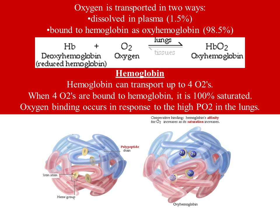 Oxygen is transported in two ways: dissolved in plasma (1.5%) bound to hemoglobin as oxyhemoglobin (98.5%) Hemoglobin Hemoglobin can transport up to 4 O2 s.