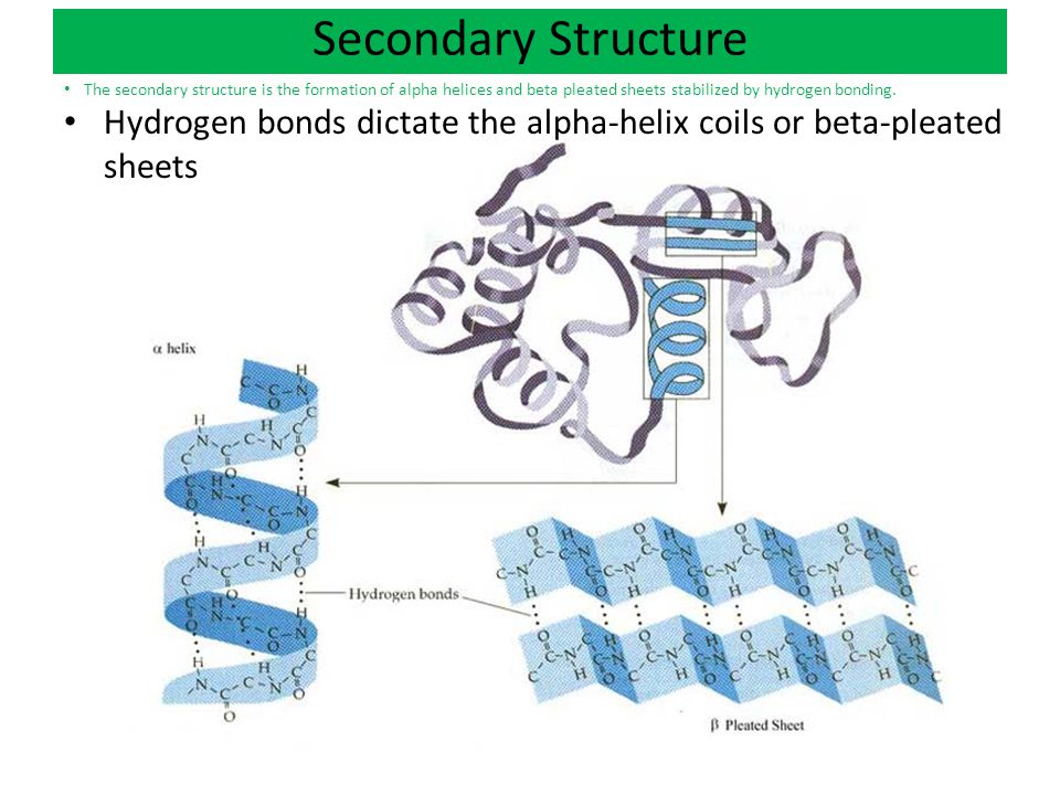 Alpha Helix And Beta Pleated Sheet and beta pleated sheets