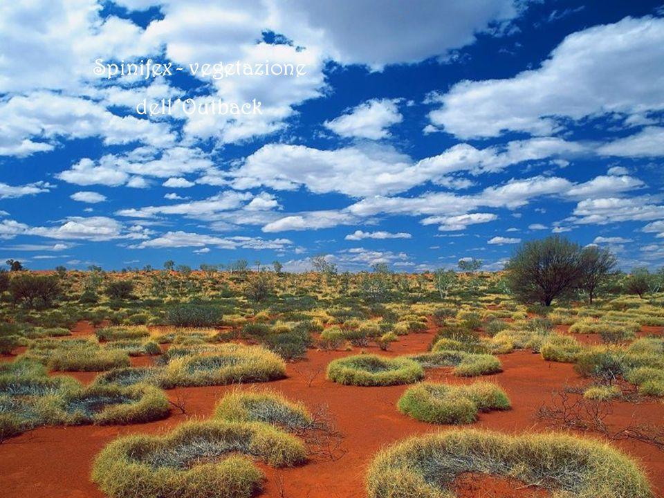 Diavolo cornuto Northern Territory