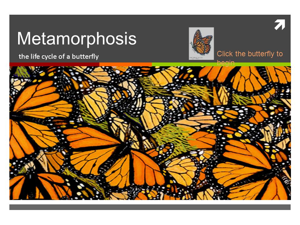  Metamorphosis the life cycle of a butterfly Click the butterfly to begin