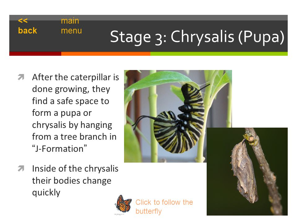 Stage 3: Chrysalis (Pupa)  After the caterpillar is done growing, they find a safe space to form a pupa or chrysalis by hanging from a tree branch in J-Formation  Inside of the chrysalis their bodies change quickly Click to follow the butterfly << back main menu
