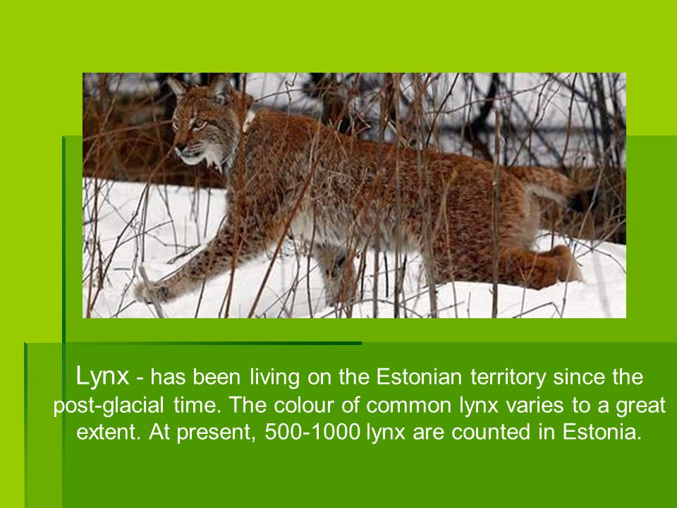 Lynx - has been living on the Estonian territory since the post-glacial time.