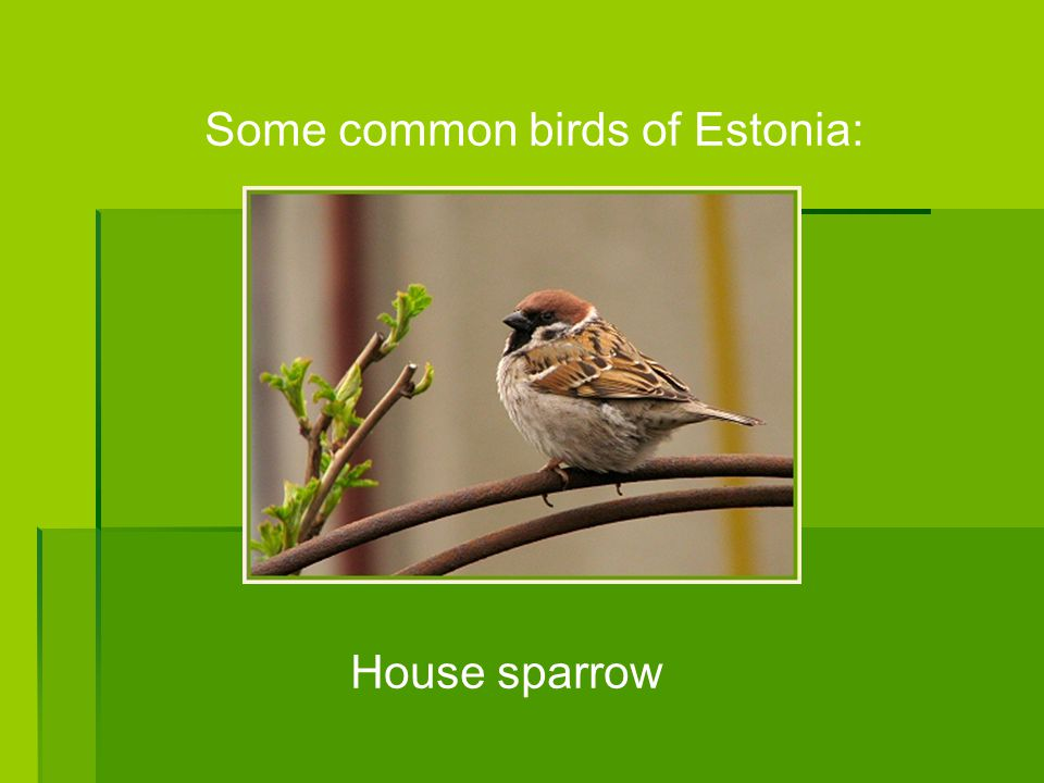 Some common birds of Estonia: House sparrow