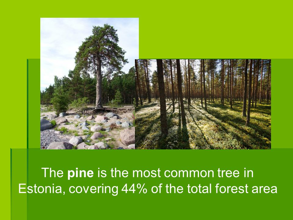 The pine is the most common tree in Estonia, covering 44% of the total forest area