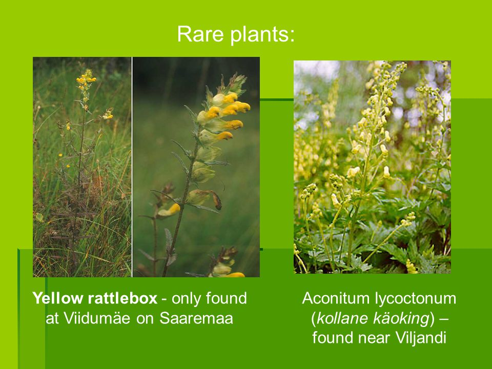 Rare plants: Yellow rattlebox - only found at Viidumäe on Saaremaa Aconitum lycoctonum (kollane käoking) – found near Viljandi