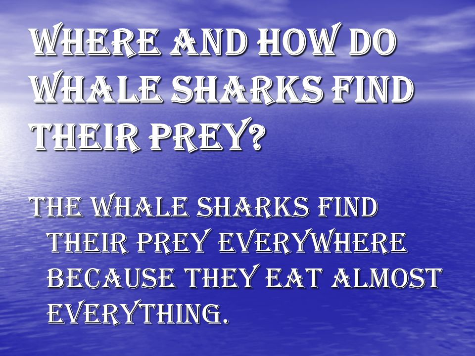 What does the whale shark eat. Whale sharks eat Mega mouth sharks and Plankton.